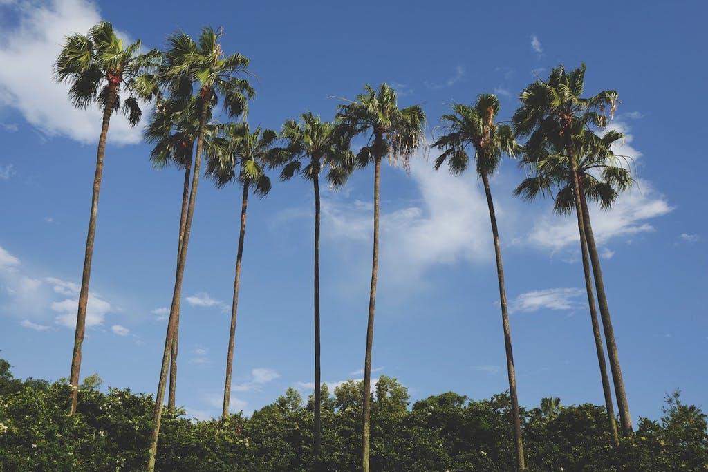 Palm trees in Orlando Photo by Drew Coffman on Unsplash
