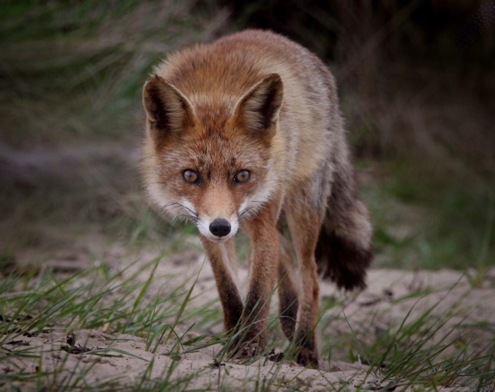 a fox standing in the grass