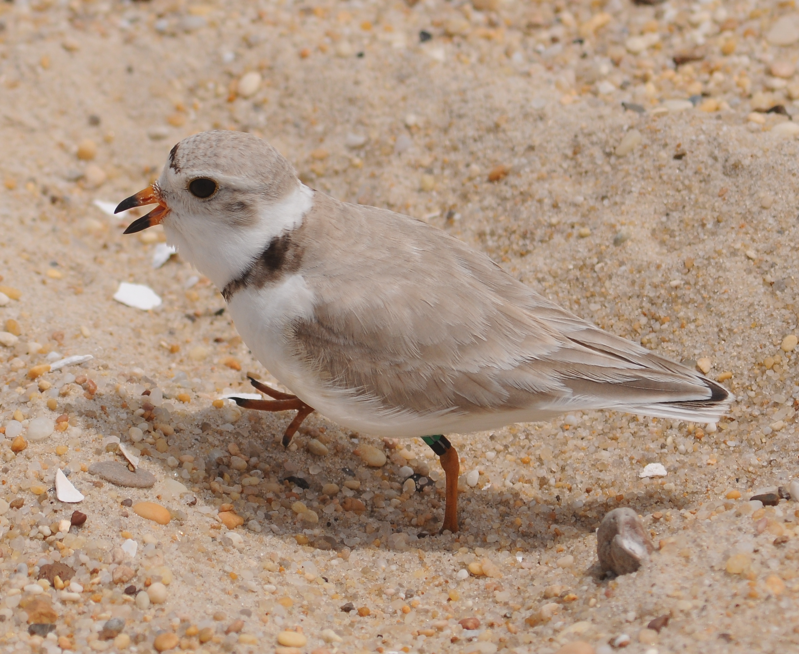 """Featured image for """"Predators, storm slow piping plover nest production"""""""